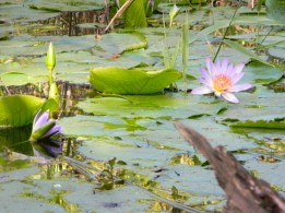 Water lilies in the river valley