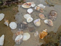 Elysium Beach KZN Seashells