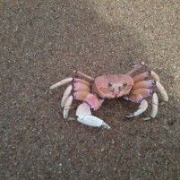 Early mornings and late evenings hundreds of crabs leave their holes in the sand and run into the waves