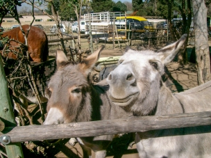 How can one possibly resist such a beautiful smile? Donkeys at Farmers Market Walkerville, Gauten, South Africa