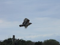 African Crowned Eagle takes flight from our telephone pole