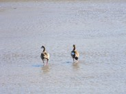 TC Robertson Nature Reserve Egyptian Geese