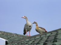 Egyptian Geese on the rooftop