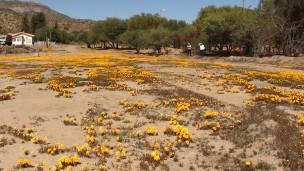 Nababeep wild flowers in spring