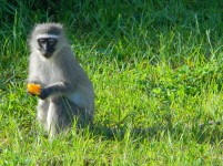 Naughty little Vervet monkey helps himself to our breakfast fruit