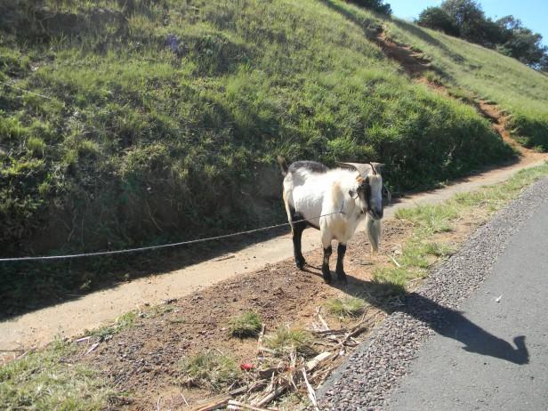 Goat grazing next to the N2 freeway KZN