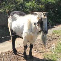Goat next to the N2 freeway KZN