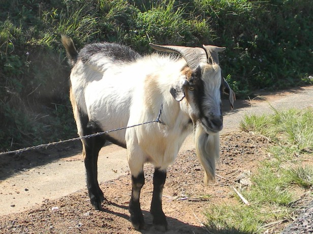 Goat next to the N2 freeway KZN
