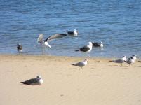 Seagulls - adults enjoying the water, chicks enjoying the sun