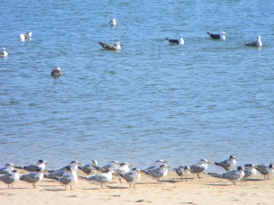Seagulls - adults keeping an eye on the chicks on shore