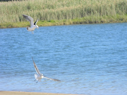 Seagulls - the parental unit checking out the safety of the Mtwalume lagoon