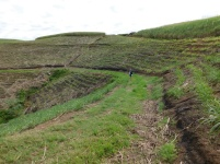 After cutting the sugar cane the neat rows on the hilltop reminds one of an amphitheater