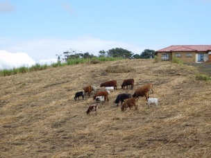 Nguni cattle grazing in a harvested sugar cane field