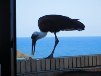 woolly-necked-stork