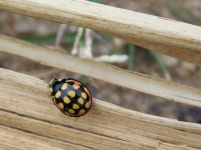 Beetle resting on a wooden bench - Lake Eland Nature Reserve