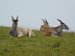 Eland (Oribi) in Lake Eland Nature Reserve