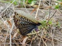 Locust - Lake Eland Nature Reserve