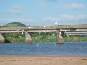 Seagulls at Mtwalume River