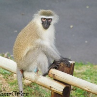 Vervet money KwaZulu-Natal