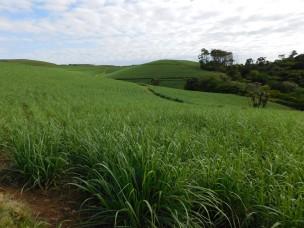 Sugarcane fields Kwazulu-Natal Southcoast