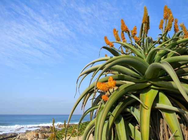 Aloe growing high on the rocky dunes
