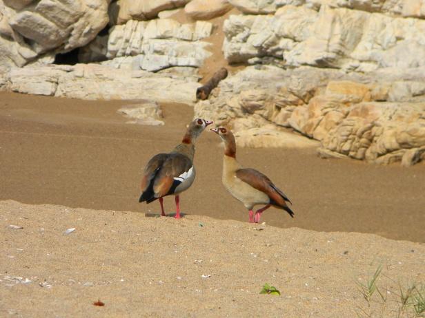Ducks on the bank of the Mhlangamkulu River