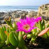 Succulent groundcover with bright pink flower (vygie)