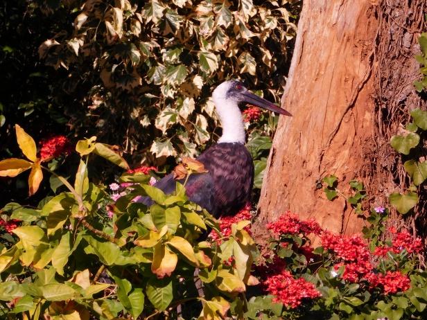 woolly-necked stork or whitenecked stork -ciconia episcopus