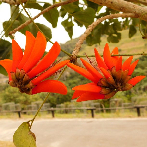 Orange Coral tree flowers