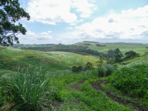 Earth rejuvenated after burning and cutting the old growth in the sugar cane fields