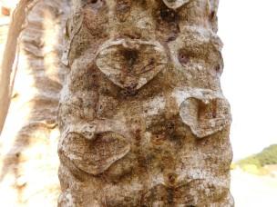 Bark of a pawpaw tree