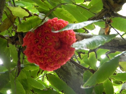 Flower captured in Mauritius Sir Seewoosagur Ramgoolam Botanic Garden