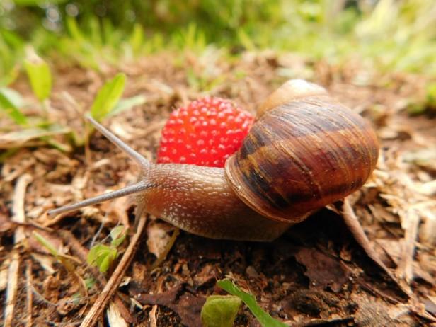 Garden snail2