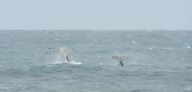 A mother whale and her calf playing in the surf at Seapark beach, KwaZulu-Natal