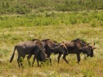 Blouwildebeeste in the Lake Eland Nature Reserve, Oribi Gorge, KwaZulu-Natal