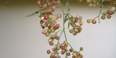 Peppercorn berries (drupes)
