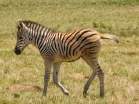 Zebra calf in the Lake Eland Nature Reserve, Oribi Gorge, KwaZulu-Natal